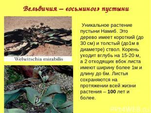 Вельвичия – «осьминог» пустыни Уникальное растение пустыни Намиб. Это дерево име