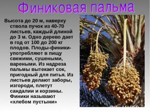 Высота до 20 м, наверху ствола пучок из 40-70 листьев, каждый длиной до 3 м. Одн