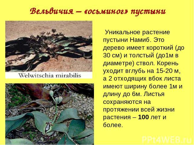 Вельвичия – «осьминог» пустыни Уникальное растение пустыни Намиб. Это дерево имеет короткий (до 30 см) и толстый (до1м в диаметре) ствол. Корень уходит вглубь на 15-20 м, а 2 отходящих вбок листа имеют ширину более 1м и длину до 6м. Листья сохраняют…