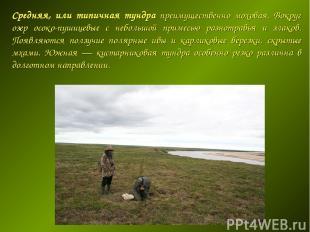 Средняя, или типичная тундра преимущественно моховая. Вокруг озер осоко-пушицевы