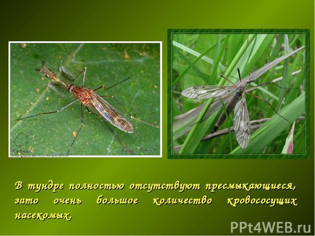 В тундре полностью отсутствуют пресмыкающиеся, зато очень большое количество кровососущих насекомых.