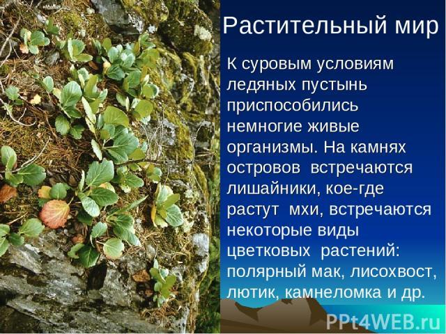 Растительный мир К суровым условиям ледяных пустынь приспособились немногие живые организмы. На камнях островов встречаются лишайники, кое-где растут мхи, встречаются некоторые виды цветковых растений: полярный мак, лисохвост, лютик, камнеломка и др.