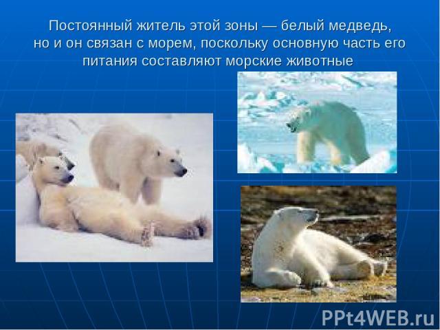 Постоянный житель этой зоны— белый медведь, ноионсвязан сморем, поскольку основную часть его питания составляют морские животные