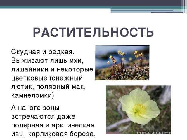 РАСТИТЕЛЬНОСТЬ Скудная и редкая. Выживают лишь мхи, лишайники и некоторые цветковые (снежный лютик, полярный мак, камнеломки) А на юге зоны встречаются даже полярная и арктическая ивы, карликовая береза.