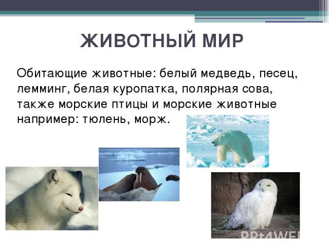 ЖИВОТНЫЙ МИР Обитающие животные: белый медведь, песец, лемминг, белая куропатка, полярная сова, также морские птицы и морские животные например: тюлень, морж.