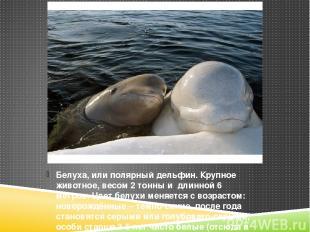Белуха, или полярный дельфин. Крупное животное, весом 2 тонны и длинной 6 метров