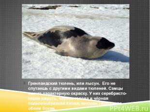 Гренландский тюлень, или лысун. Его не спутаешь с другими видами тюленей. Самцы