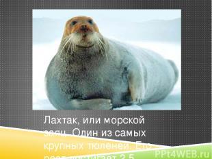 Лахтак, или морской заяц. Один из самых крупных тюленей. Его рост достигает 2,5