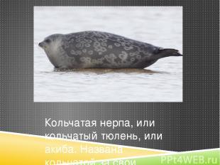 Кольчатая нерпа, или кольчатый тюлень, или акиба. Названа кольчатой за свои коль