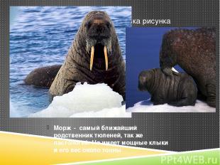 Морж - самый ближайший родственник тюленей, так же ластоногий. Но имеет мощные к