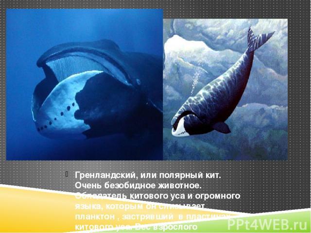 Гренландский, или полярный кит. Очень безобидное животное. Обладатель китового уса и огромного языка, которым он слизывает планктон , застрявший в пластинах китового уса. Вес взрослого животного около 100 тонн.