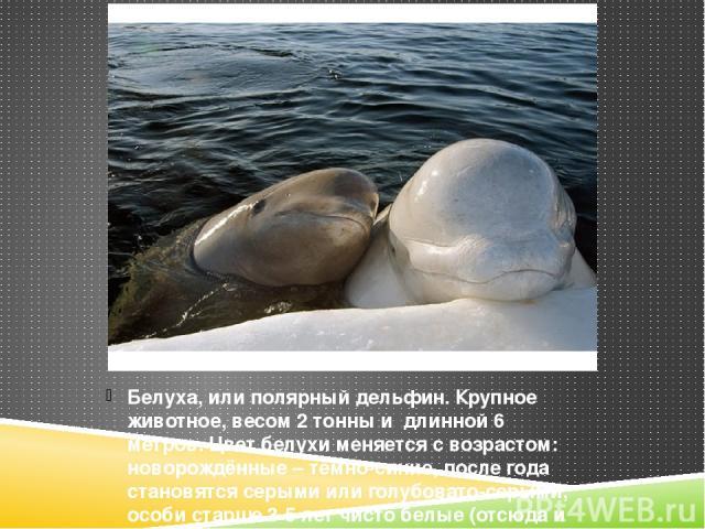 Белуха, или полярный дельфин. Крупное животное, весом 2 тонны и длинной 6 метров. Цвет белухи меняется с возрастом: новорождённые – тёмно-синие, после года становятся серыми или голубовато-серыми, особи старше 3-5 лет чисто белые (отсюда и название …