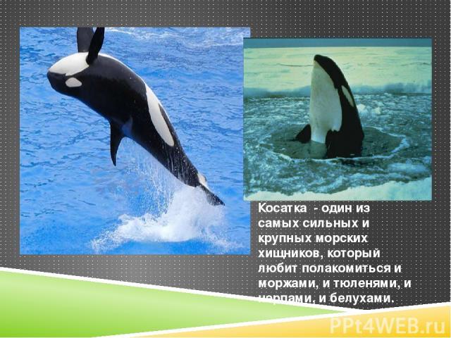 Косатка - один из самых сильных и крупных морских хищников, который любит полакомиться и моржами, и тюленями, и нерпами, и белухами.