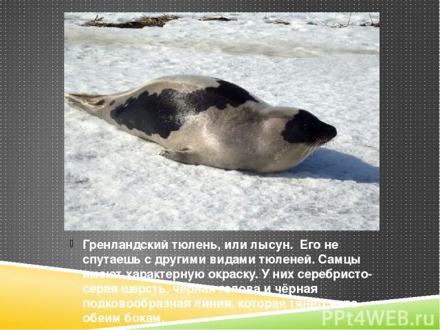 Гренландский тюлень, или лысун. Его не спутаешь с другими видами тюленей. Самцы имеют характерную окраску. У них серебристо-серая шерсть, чёрная голова и чёрная подковообразная линия, которая тянется по обеим бокам.