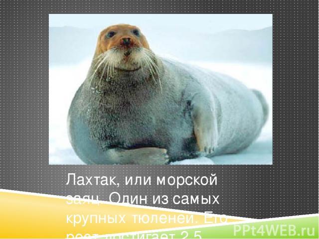 Лахтак, или морской заяц. Один из самых крупных тюленей. Его рост достигает 2,5 метров, вес взрослой особи доходит до 500 килограммов. Название «морской заяц» было дано животному за его пугливый нрав.