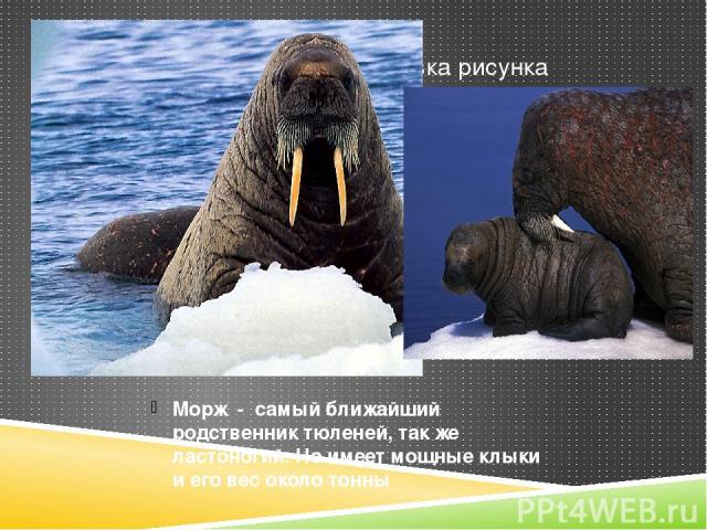 Морж - самый ближайший родственник тюленей, так же ластоногий. Но имеет мощные клыки и его вес около тонны