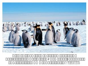 Одна из самых больших колоний пингвинов в мире(постоянно живут около 2 млн. особ
