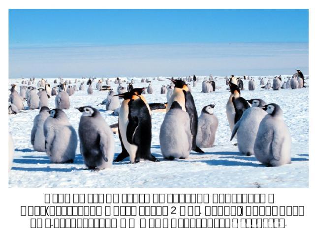 Одна из самых больших колоний пингвинов в мире(постоянно живут около 2 млн. особей) находится на о.Завидовский в Южных Сандвичевых островах.