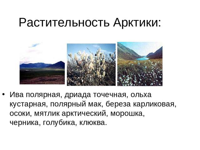 Растительность Арктики: Ива полярная, дриада точечная, ольха кустарная, полярный мак, береза карликовая, осоки, мятлик арктический, морошка, черника, голубика, клюква.
