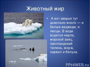 Животный мир А вот зверья тут довольно много — и белые медведи, и песцы. В воде