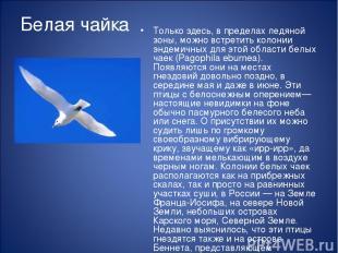 Белая чайка Только здесь, в пределах ледяной зоны, можно встретить колонии эндем