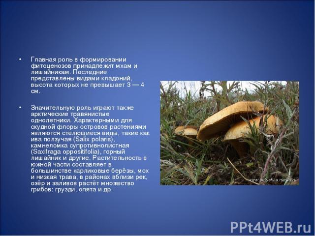 Главная роль в формировании фитоценозов принадлежит мхам и лишайникам. Последние представлены видами кладоний, высота которых не превышает 3 — 4 см. Значительную роль играют также арктические травянистые однолетники. Характерными для скудной флоры о…