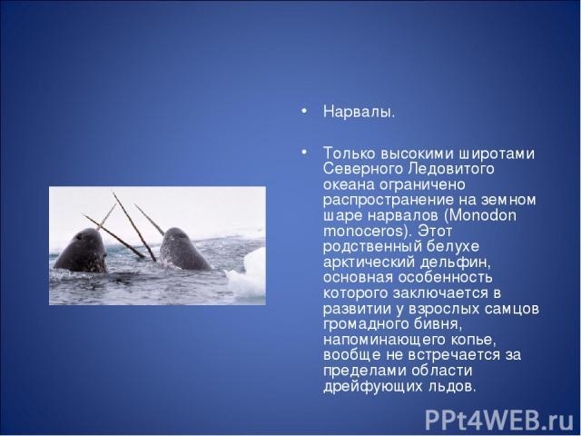 Нарвалы. Только высокими широтами Северного Ледовитого океана ограничено распространение на земном шаре нарвалов (Monodon monoceros). Этот родственный белухе арктический дельфин, основная особенность которого заключается в развитии у взрослых самцов…
