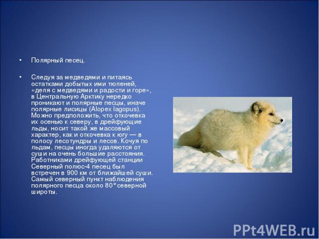 Полярный песец. Следуя за медведями и питаясь остатками добытых ими тюленей, «деля с медведями и радости и горе», в Центральную Арктику нередко проникают и полярные песцы, иначе полярные лисицы (Alopex lagopus). Можно предположить, что откочевка их …
