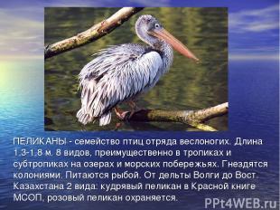 ПЕЛИКАНЫ - семейство птиц отряда веслоногих. Длина 1,3-1,8 м. 8 видов, преимущес