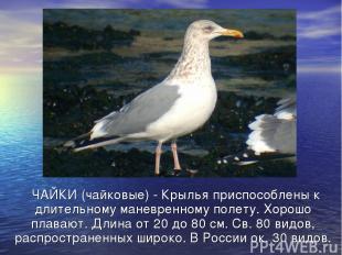 ЧАЙКИ (чайковые) - Крылья приспособлены к длительному маневренному полету. Хорош
