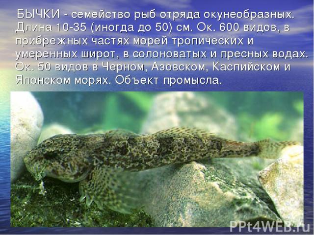БЫЧКИ - семейство рыб отряда окунеобразных. Длина 10-35 (иногда до 50) см. Ок. 600 видов, в прибрежных частях морей тропических и умеренных широт, в солоноватых и пресных водах. Ок. 50 видов в Черном, Азовском, Каспийском и Японском морях. Объект пр…