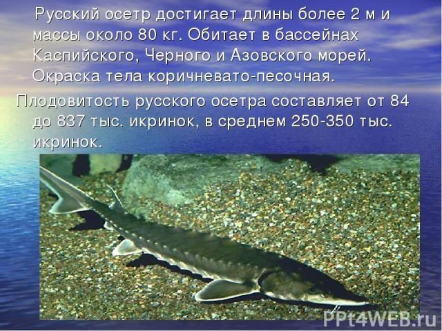 Русский осетр достигает длины более 2 м и массы около 80 кг. Обитает в бассейнах Каспийского, Черного и Азовского морей. Окраска тела коричневато-песочная. Плодовитость русского осетра составляет от 84 до 837 тыс. икринок, в среднем 250-350 тыс. икринок.
