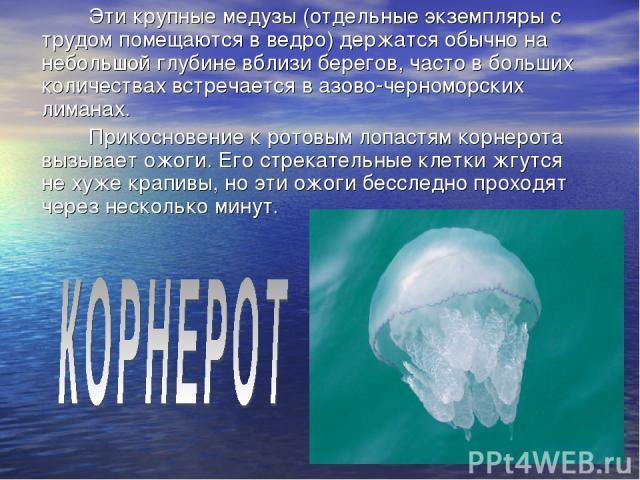 Эти крупные медузы (отдельные экземпляры с трудом помещаются в ведро) держатся обычно на небольшой глубине вблизи берегов, часто в больших количествах встречается в азово-черноморских лиманах. Прикосновение к ротовым лопастям корнерота вызывает ожог…