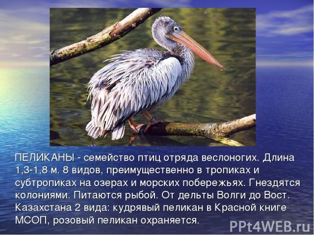 ПЕЛИКАНЫ - семейство птиц отряда веслоногих. Длина 1,3-1,8 м. 8 видов, преимущественно в тропиках и субтропиках на озерах и морских побережьях. Гнездятся колониями. Питаются рыбой. От дельты Волги до Вост. Казахстана 2 вида: кудрявый пеликан в Красн…