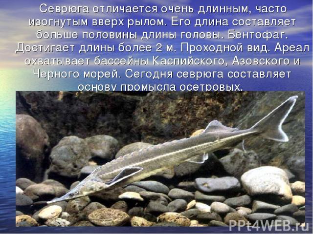 Севрюга отличается очень длинным, часто изогнутым вверх рылом. Его длина составляет больше половины длины головы. Бентофаг. Достигает длины более 2 м. Проходной вид. Ареал охватывает бассейны Каспийского, Азовского и Черного морей. Сегодня севрюга с…