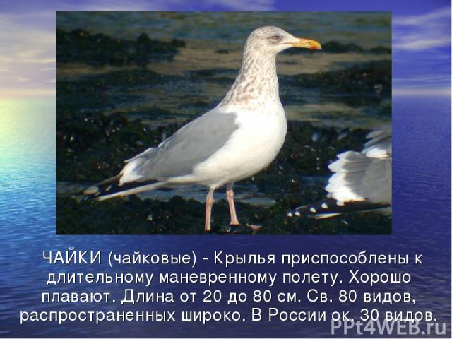 ЧАЙКИ (чайковые) - Крылья приспособлены к длительному маневренному полету. Хорошо плавают. Длина от 20 до 80 см. Св. 80 видов, распространенных широко. В России ок. 30 видов.
