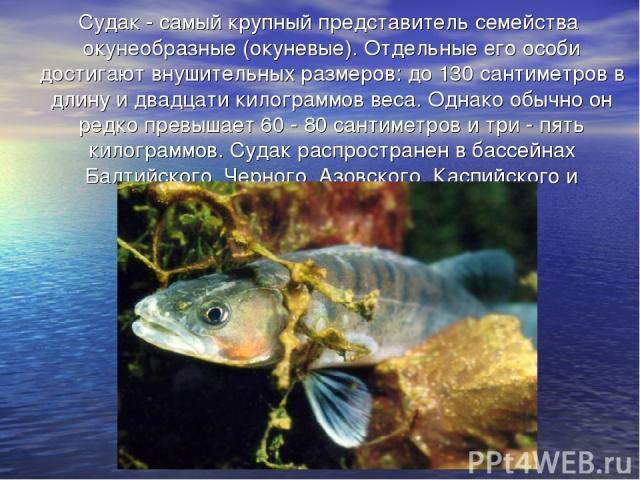 Судак - самый крупный представитель семейства окунеобразные (окуневые). Отдельные его особи достигают внушительных размеров: до 130 сантиметров в длину и двадцати килограммов веса. Однако обычно он редко превышает 60 - 80 сантиметров и три - пять ки…