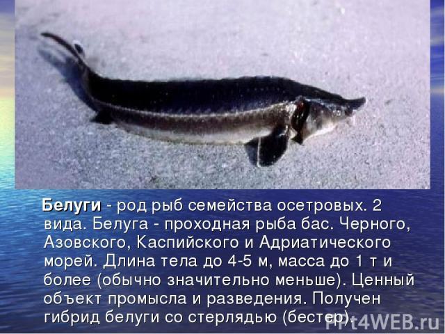 Белуги - род рыб семейства осетровых. 2 вида. Белуга - проходная рыба бас. Черного, Азовского, Каспийского и Адриатического морей. Длина тела до 4-5 м, масса до 1 т и более (обычно значительно меньше). Ценный объект промысла и разведения. Получен ги…