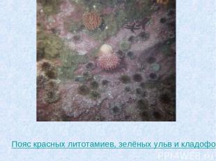 Пояс красных литотамиев, зелёных ульв и кладофор с поселившимися на них животным