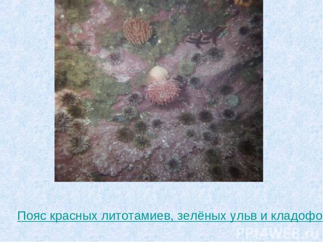 Пояс красных литотамиев, зелёных ульв и кладофор с поселившимися на них животными (морские ежи, звёзды, голотурии) в Баренцевом море на глубине 5-8 м.