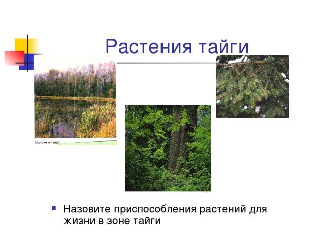 Растения тайги Назовите приспособления растений для жизни в зоне тайги