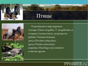 Птицы Разнообразен и мир пернатых: глухари (Tetrao urogallus, T. urogalloides) и