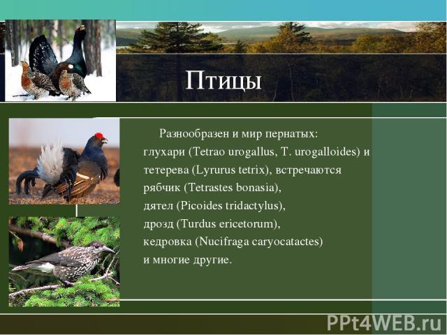 Птицы Разнообразен и мир пернатых: глухари (Tetrao urogallus, T. urogalloides) и тетерева (Lyrurus tetrix), встречаются рябчик (Tetrastes bonasia), дятел (Picoides tridactylus), дрозд (Turdus ericetorum), кедровка (Nucifraga caryocatactes) и многие …