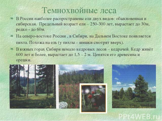 Темнохвойные леса В России наиболее распространены ели двух видов: обыкновенная и сибирская. Предельный возраст ели – 250-300 лет, вырастает до 30м, редко - до 60м. На северо-востоке России , в Сибири, на Дальнем Востоке появляется пихта. Похожа на …