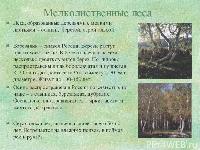 Мелколиственные леса Леса, образованные деревьями с мелкими листьями – осиной, берёзой, серой ольхой. Березняки – символ России. Берёзы растут практически везде. В России насчитывается несколько десятков видов берёз. Но широко распространены лишь бо…