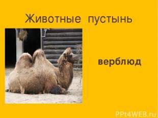 Животные пустынь верблюд