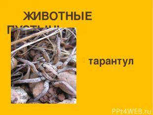ЖИВОТНЫЕ ПУСТЫНЬ тарантул
