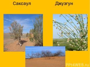 Саксаул Джузгун