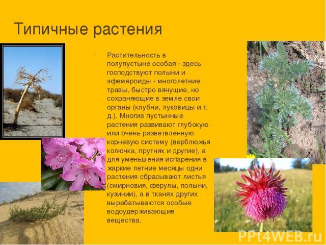 Типичные растения Растительность в полупустыне особая - здесь господствуют полыни и эфемероиды - многолетние травы, быстро вянущие, но сохраняющие в земле свои органы (клубни, луковицы и т. д.). Многие пустынные растения развивают глубокую или очень…