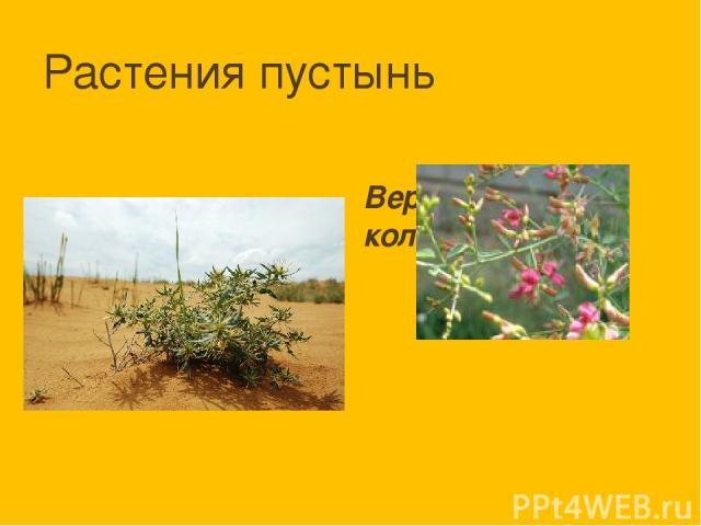 Растения пустынь Верблюжья колючка
